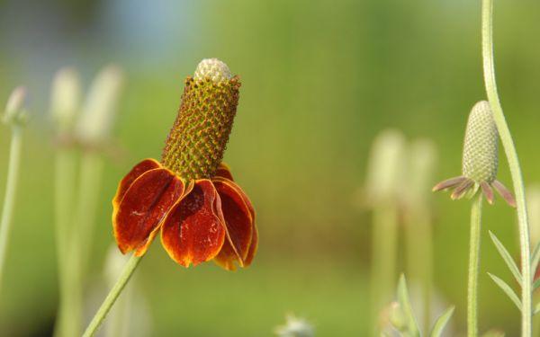 Ratibida columnifera fo. pulcherrima Red Midget - Schönhütchen