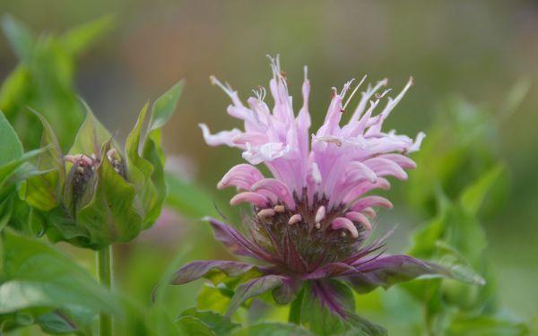 Monarda Fistulosa-Hybride Beauty of Cobham - Indianernessel