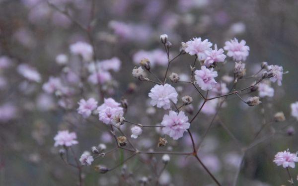 Gypsophila Hybride Rosenschleier - Halbhohes Schleierkraut