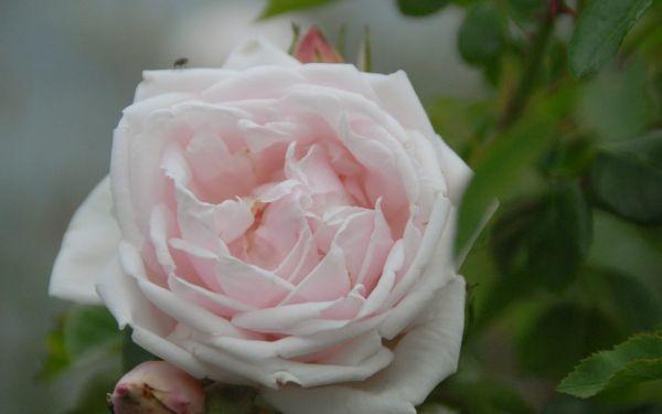 Rosa New Dawn - Kletter-Rose, Rambler