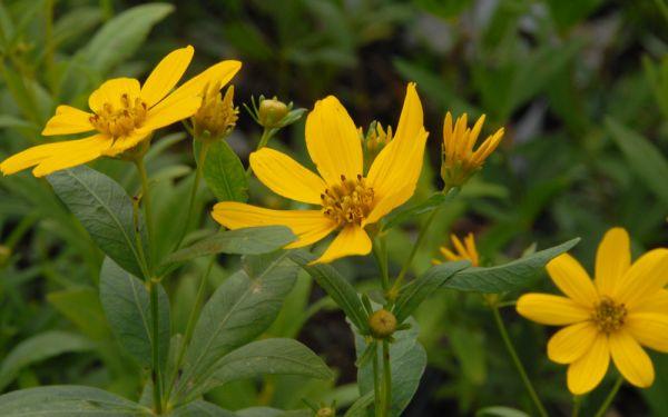 Coreopsis major - Prärie-Mädchenauge