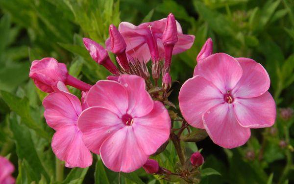 Phlox paniculata Württembergia - Flammenblume, Hoher Sommer-Phlox