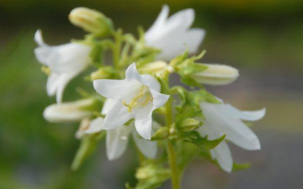 Campanula trachelium Alba - Nessel-Glockenblume