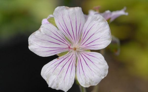 Geranium himalayense Derrick Cook - Himalaya-Storchschnabel