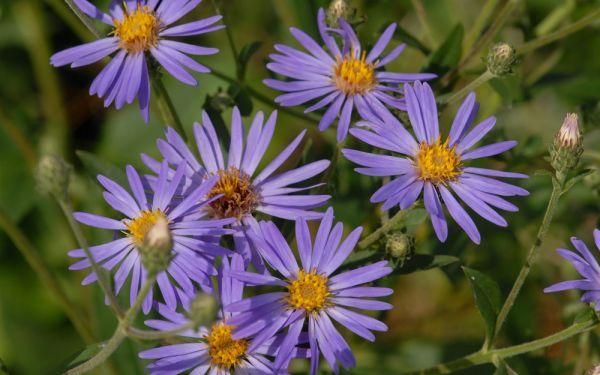 Aster macrophyllus Twilight - Großblatt-Aster