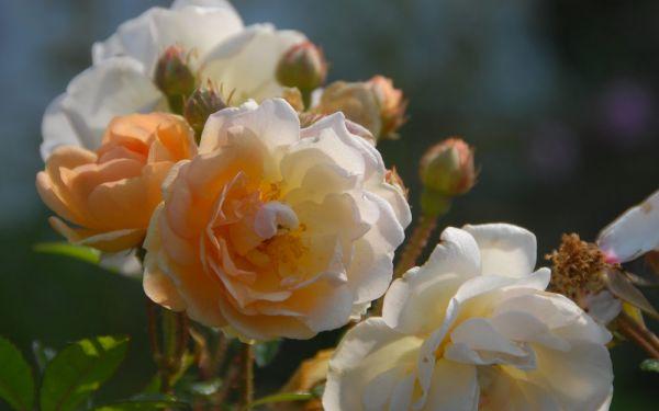 Rosa Multiflora-Hybride Ghislaine de Feligonde - Kletter-Rose, Rambler
