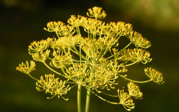 Anethum graveolens - Dill