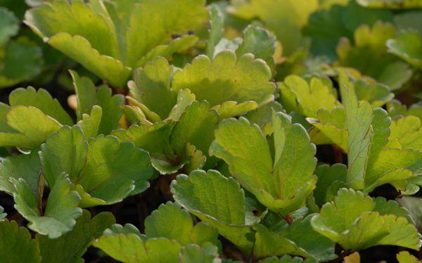 Ligusticum scoticum - Schottischer Liebstöckel, Mutterwurz, Staudensilie