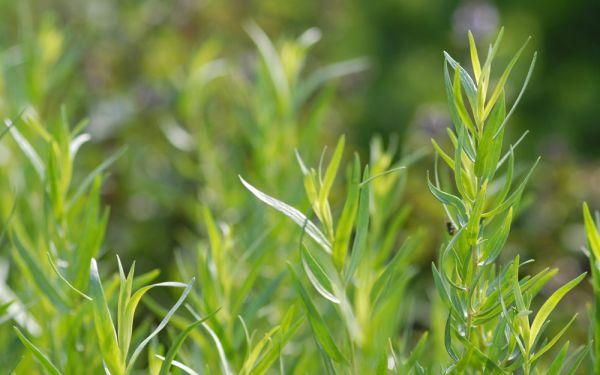 Artemisia dracunculus var. sativus - Französischer Estragon