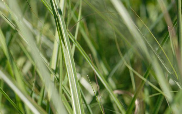 Miscanthus sinensis Kleine Silberspinne - Niedriges Chinaschilf