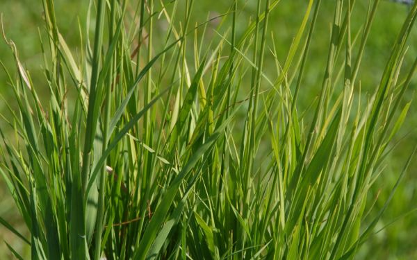 Molinia arundinacea Bergfreund - Hohes Pfeifengras