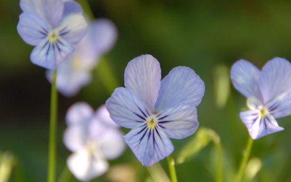 Viola cornuta Icy but Spicy - Horn-Veilchen
