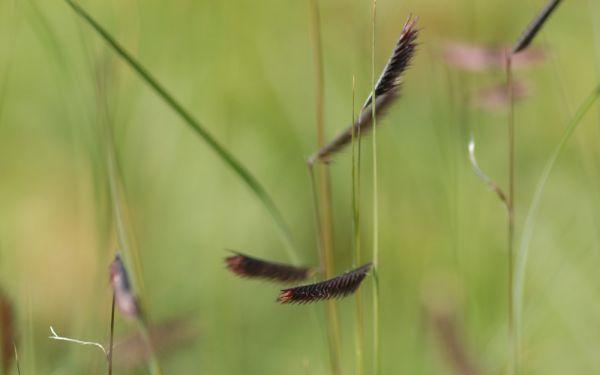 Bouteloua gracilis - Moskitogras