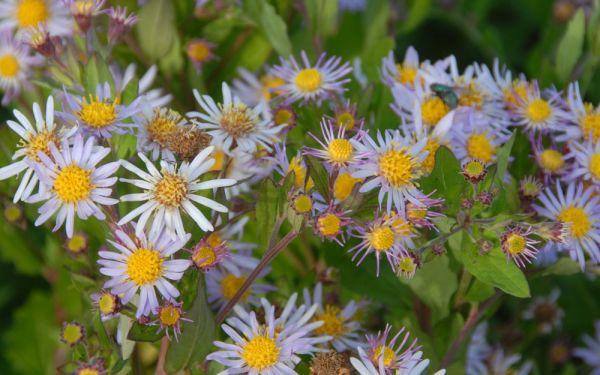 Aster ageratoides var. ovatus fo. yez. Asran - Asiatische Herbst-Aster