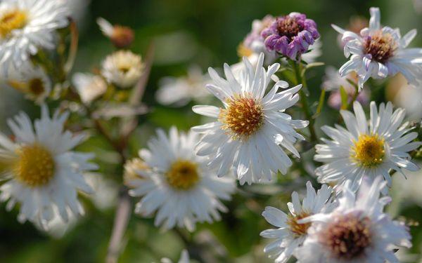 Aster novi-belgii White Ladies - Glattblatt-Aster