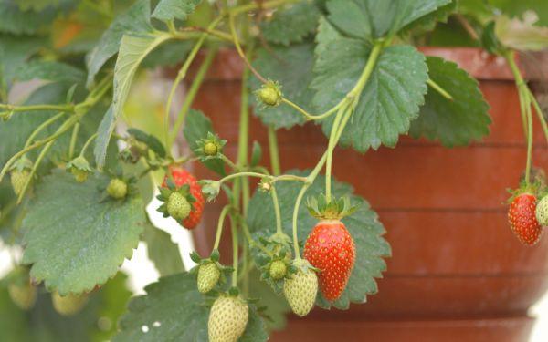 Fragaria x ananassa Hängeerdbeere - Erdbeere