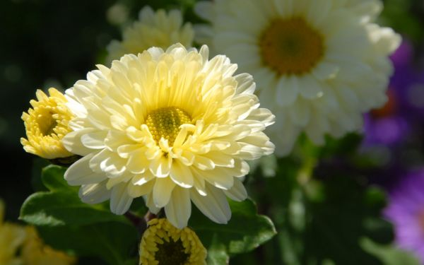 Chrysanthemum Indicum-Hybride Poesie - Herbst-Chrysantheme, Winter-Aster