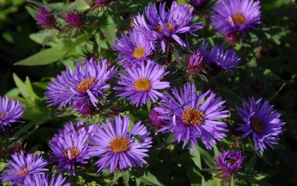 Aster novae-angliae Purple Dome - Niedrige Raublatt-Aster