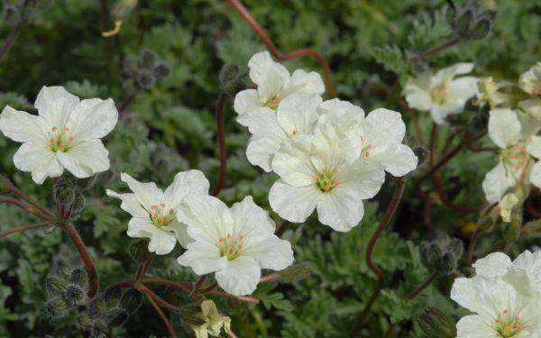Erodium chrysanthum  - Reiherschnabel