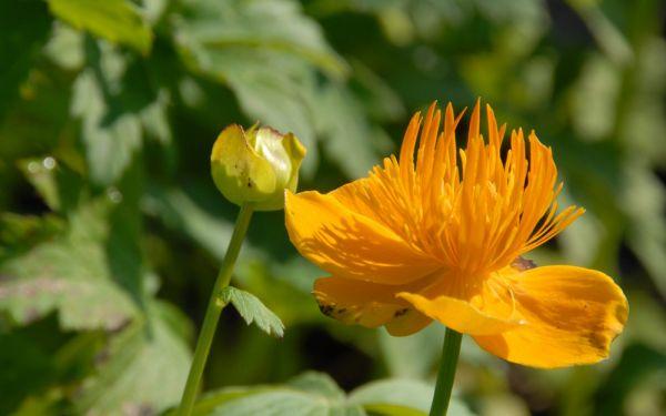 Trollius ircuticus - Sibirische Trollblume