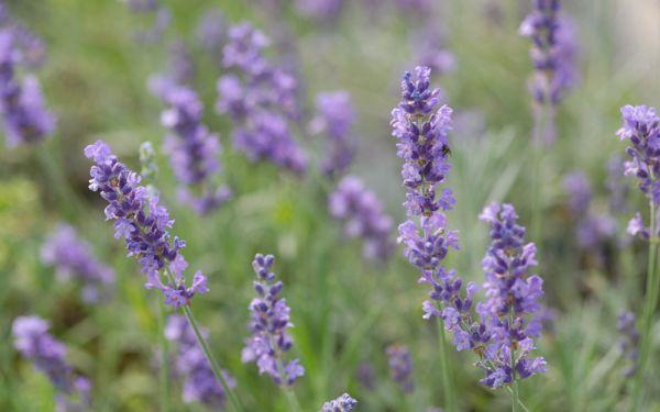 Lavandula angustifolia Silver Blue - Garten-Lavendel