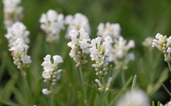 Lavandula angustifolia Nana Alba - Garten-Lavendel