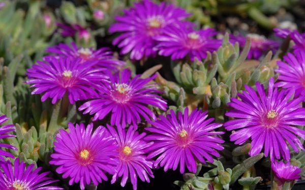 Delosperma cooperi Halda - Mittagsblümchen