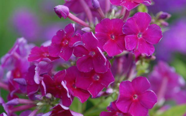 Phlox paniculata Furioso - Flammenblume, Hoher Sommer-Phlox