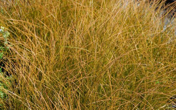 Carex testacea - Neuseeland-Segge