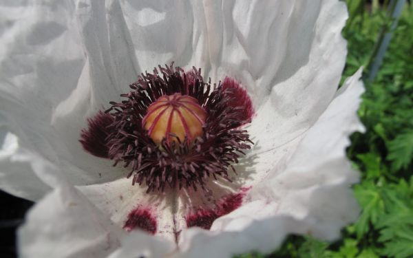 Papaver orientale Royal Wedding - Türkischer Mohn