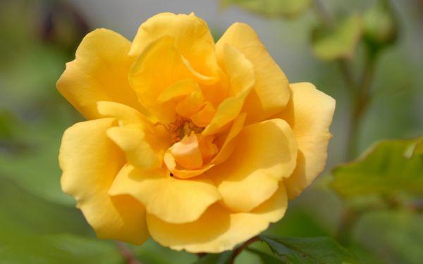 Rosa Tequila Gold ® - Floribunda-, Beet-Rose
