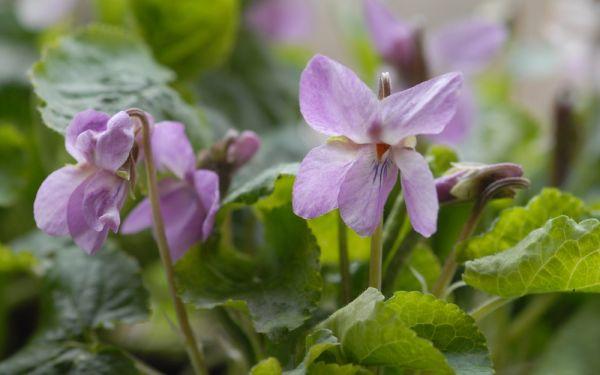 Viola odorata Orchid Pink - Duft-Veilchen
