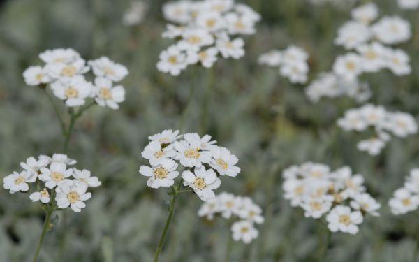 Achillea umbellata - Griechische Silber-Garbe