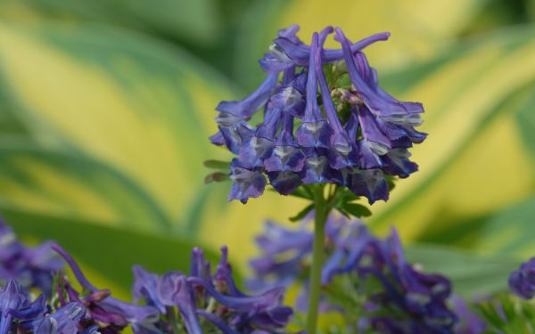 Corydalis Hybride Korns Purple - Lerchensporn