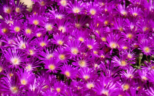 Delosperma lavisiae Letseng - Mittagsblümchen