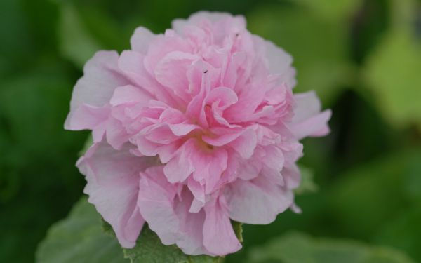 Alcea rosea plena Chaters Rosa - Stockrose
