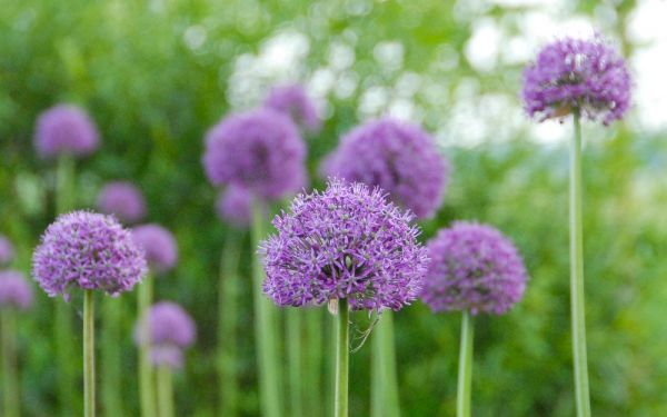 Allium aflatunense Purple Sensation - Kugel-Lauch