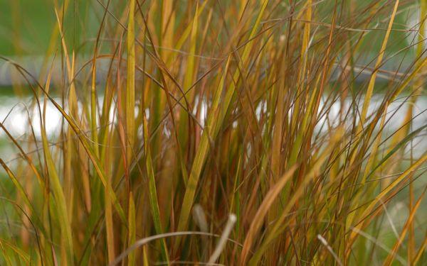 Anemanthele lessoniana - Neuseeland-Windgras