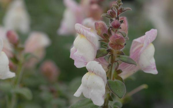 Antirrhinum hispanicum - Spanisches Zwerg-Löwenmaul