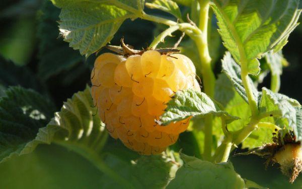 Herbst-Himbeere Autumn Sun ® - Rubus idaeus - Früchte an 1-jährigen Ruten