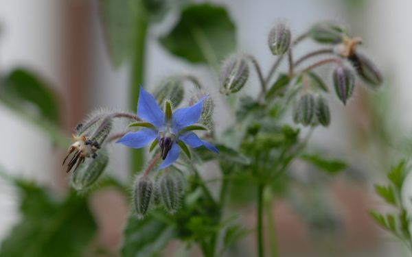 Borago officinalis - Borretsch, Gurkenkraut