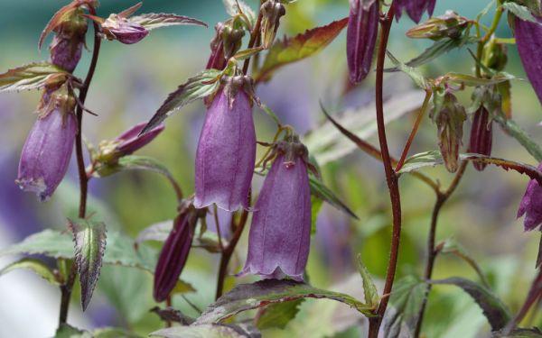 Campanula Punctata-Hybride Beetroot - Großblütige Glockenblume