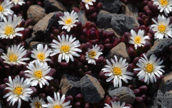 Delosperma alpina - Winterharte Mittagsblume