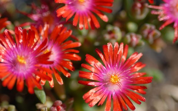 Delosperma Hybride Kleine Rote - Winterharte Mittagsblume