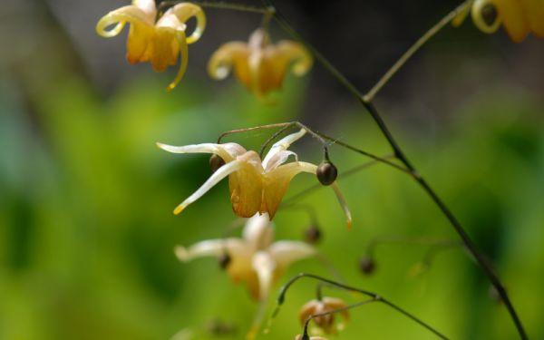 Epimedium Hybride Amber Queen ® - Elfenblume