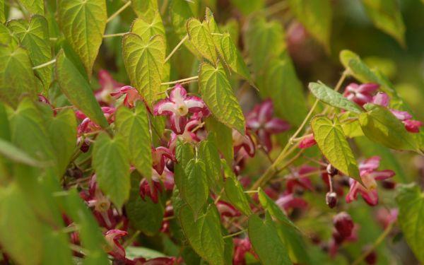 Epimedium x rubrum - Elfenblume