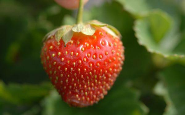 Fragaria x vescana Parfum® Ewigi Liebi® - Dauertragende Erdbeere