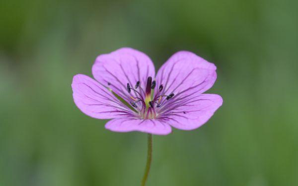 Geranium Hybride Pink Penny ® - Storchschnabel