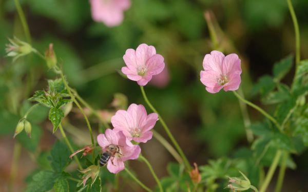 Geranium x oxonianum Wargrave Pink - Pyrenäen-Storchschnabel