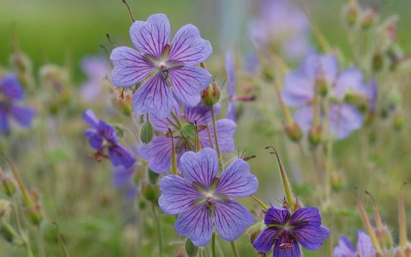 Geranium Renardii-Hybride Philippe Vapelle - Kaukasus-Storchschnabel